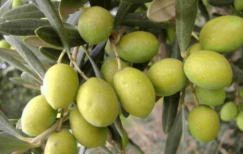 Olio varietà Biancolilla
