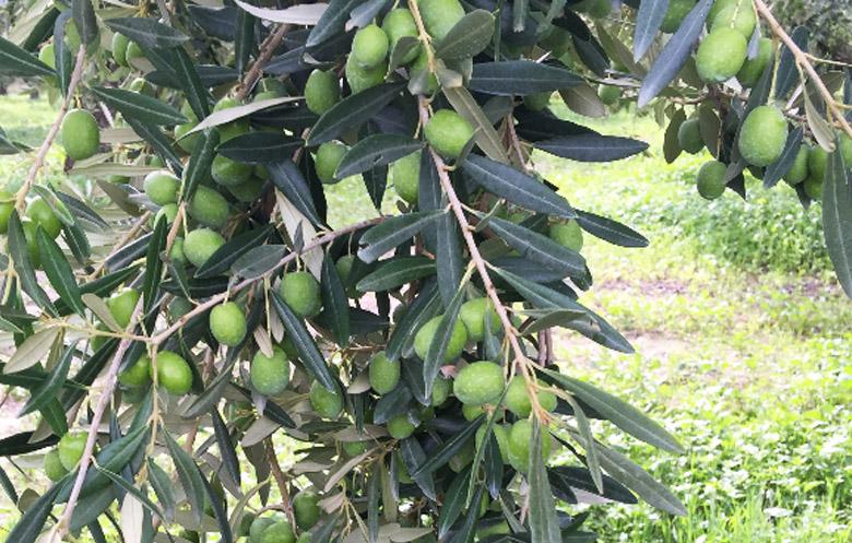 Olio varietà Verdese