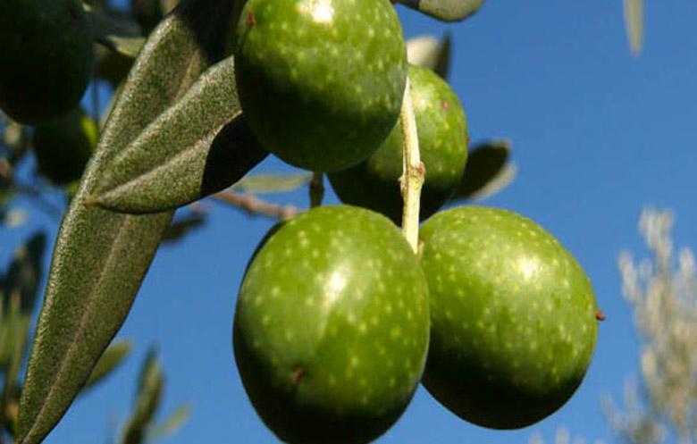 Olio varietà Tonda Iblea
